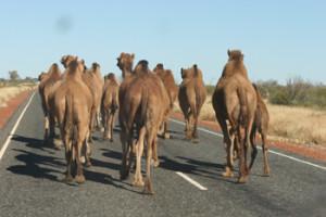 camel 3